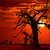 africa sunset in baobab trees colorful stock photo © lunamarina