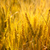 wheat spikes in golden field with cereal stock photo © lunamarina