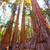 sequoias in mariposa grove at yosemite national park stock photo © lunamarina