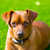 mini pinscher brown dog portrait laying in lawn stock photo © lunamarina