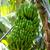 canarian banana plantation platano in la palma stock photo © lunamarina