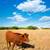 menorca brown cow grazing in golden field near ciutadella stock photo © lunamarina