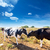 friesian cows kissing each other in menorca balearic stock photo © lunamarina