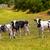 menorca friesian cow cattle grazing in green meadow stock photo © lunamarina