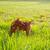 brown dog mini pinscher in a green meadow stock photo © lunamarina