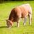 ベージュ · 牛 · 牛 · 食べ · 緑 · 草原 - ストックフォト © lunamarina