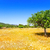 ibiza agriculture with fig tree and wheat stock photo © lunamarina