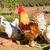 gallo · casa · pollame · gallina · erba · natura - foto d'archivio © lunamarina