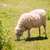 sheep grazing grass in menorca balearic stock photo © lunamarina
