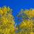 yellow poplar leaves detain on blue sky stock photo © lunamarina