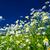 alan · çayır · bahar · beyaz · papatyalar - stok fotoğraf © lypnyk2