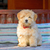 reddish havanese puppy dog stock photo © mady70
