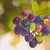 unripe grapes stock photo © mady70