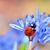 ladybug on blue flower stock photo © mady70