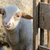 newborn lamb on the farm stock photo © mady70