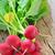 radis · femme · jardinier · croissant - photo stock © mady70