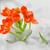 snake flower ornithogalum dubium stock photo © mady70