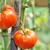 maduro · cereja · orgânico · tomates · jardim · pronto - foto stock © mady70