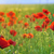 a poppy field close up stock photo © mady70