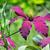 deep purple clematis flowers stock photo © mady70