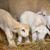 koyun · kuzu · çiftlik · ahır · tarım · genç - stok fotoğraf © mady70