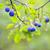 groeiend · pruimen · groene · bladeren · voedsel · vruchten · zomer - stockfoto © mady70