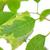 緑色の葉 · 水滴 · スプラッシュ · 孤立した · 白 · 世界中 - ストックフォト © mady70