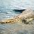 alligátorok · baba · Florida · víz · család · természet - stock fotó © magann