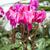 красивой · розовый · цветок · белый · природы · лет - Сток-фото © magann