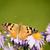 butterfly vanessa cardui stock photo © magann