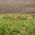 cows stock photo © magann