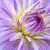 mooie · dahlia · bloemen · zomer · tuin · tuinieren - stockfoto © magann