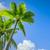 palm tree stock photo © magann