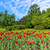 tulips flower bed in park stock photo © mahout