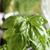 zöld · bazsalikom · fűszer · ablak · közelkép · növény - stock fotó © Makse