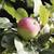 érett · alma · gyönyörű · almafa · ág · étel - stock fotó © Makse