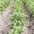krumpli · mező · növekvő · csetepaté · ipar · zöldségek - stock fotó © Makse
