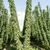 groeiend · hop · tuin · natuur · veld · plant - stockfoto © manfredxy