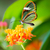 maco of a glasswinged butterfly on a flower stock photo © manfredxy