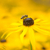 bee on a yellow echinacea flower stock photo © manfredxy