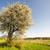 風景 · 開花 · ツリー · 春 · 草 · フィールド - ストックフォト © manfredxy