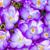 púrpura · azafrán · flores · macro · grupo · flor - foto stock © manfredxy