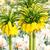 fritillaria imperialis stock photo © manfredxy