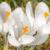 açafrão · flor · branco · páscoa · primavera - foto stock © manfredxy