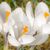 krokus · bloem · witte · Pasen · voorjaar - stockfoto © manfredxy