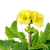 amarelo · prímula · flor · isolado · branco · fundo - foto stock © manfredxy