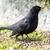 melro · ramo · vermelho · natureza · aves · animal - foto stock © manfredxy