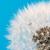 dandelion flower seeds blowball stock photo © manfredxy