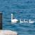 cisne · família · natação · rio · beleza · verão - foto stock © manfredxy