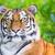 vad · tigris · dzsungel · közelkép - stock fotó © manfredxy